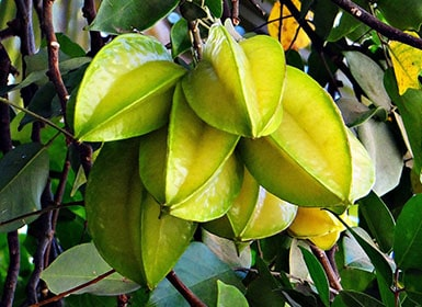 Carambola La Fruta Tropical Con Forma De Estrella De Cinco Puntas Fashion Fruit